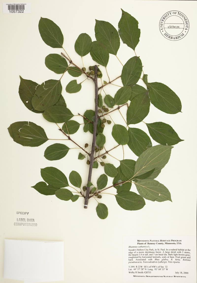 Buckthorn image from the Biodiversity Atlas