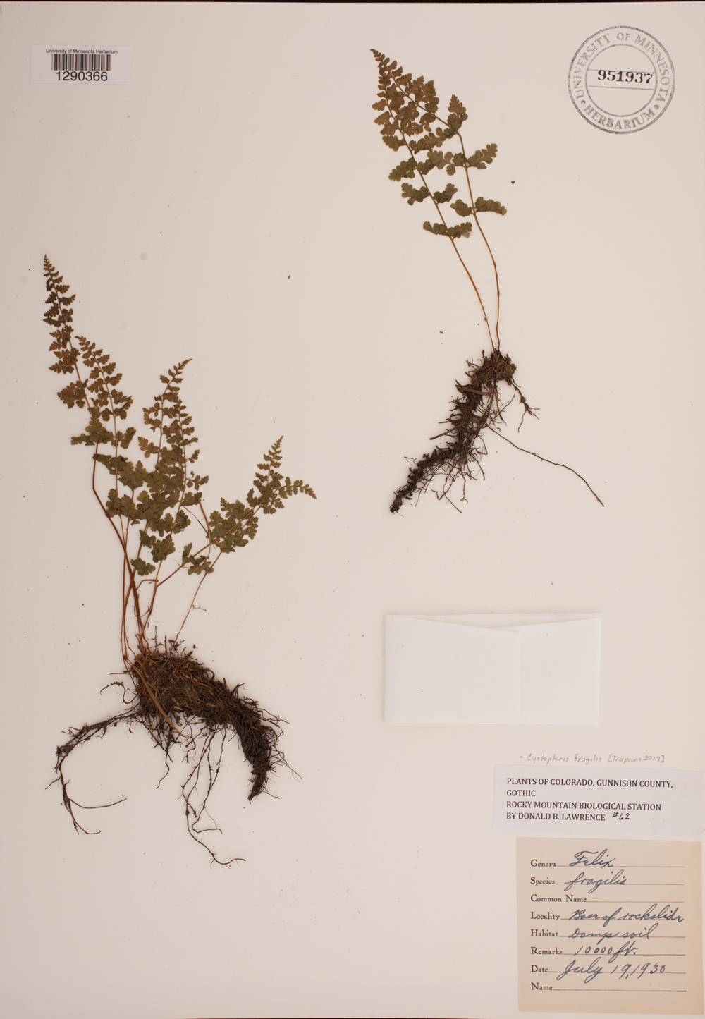 A brittle bladder fern specimen from our plant collection