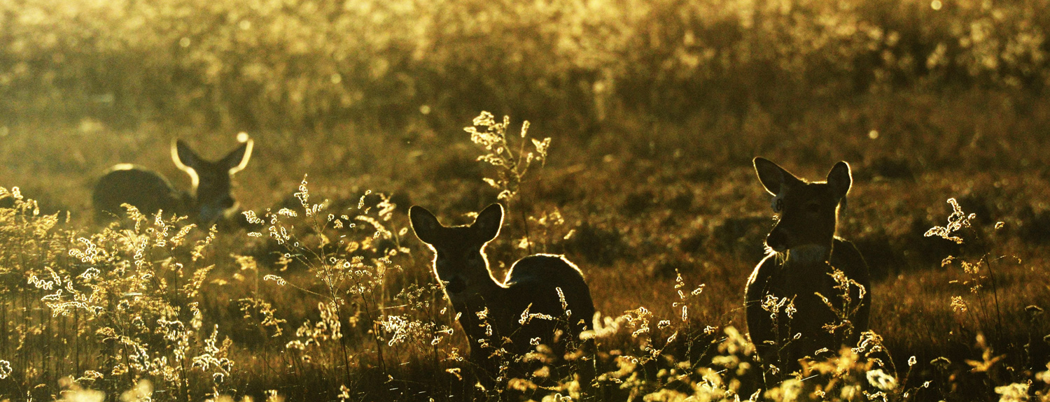 Silhouettes of deer in a field
