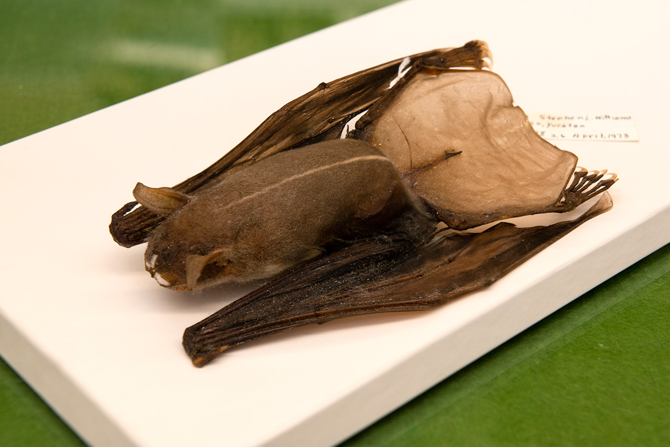 Fishing bat specimen