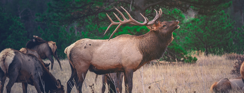 An elk in a field near a forest