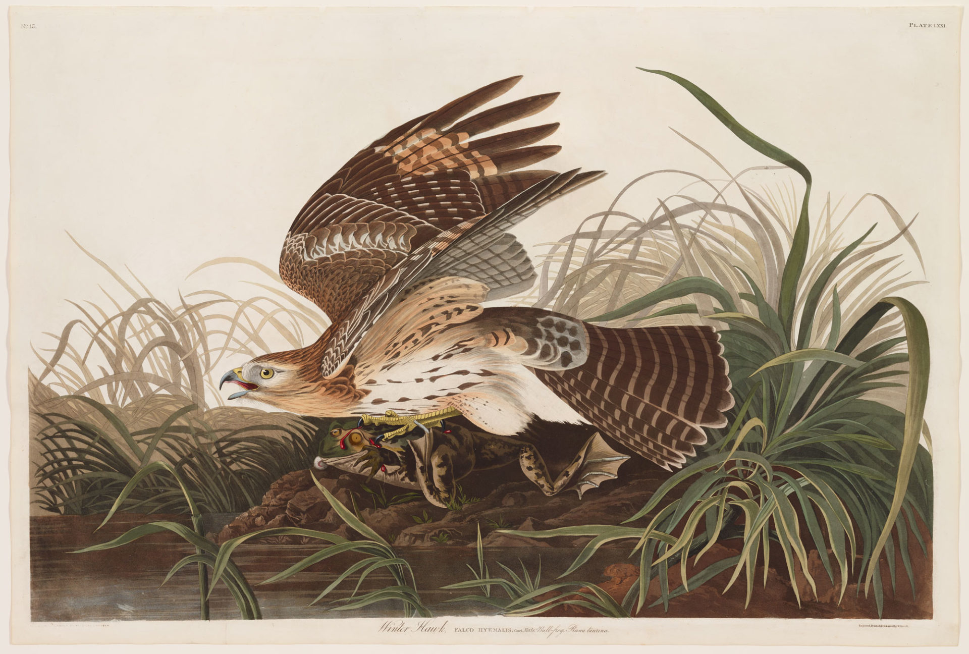 Red-Shouldered Hawk, Plate 71 Hand-colored engraving from The Birds of America, 1826-1838