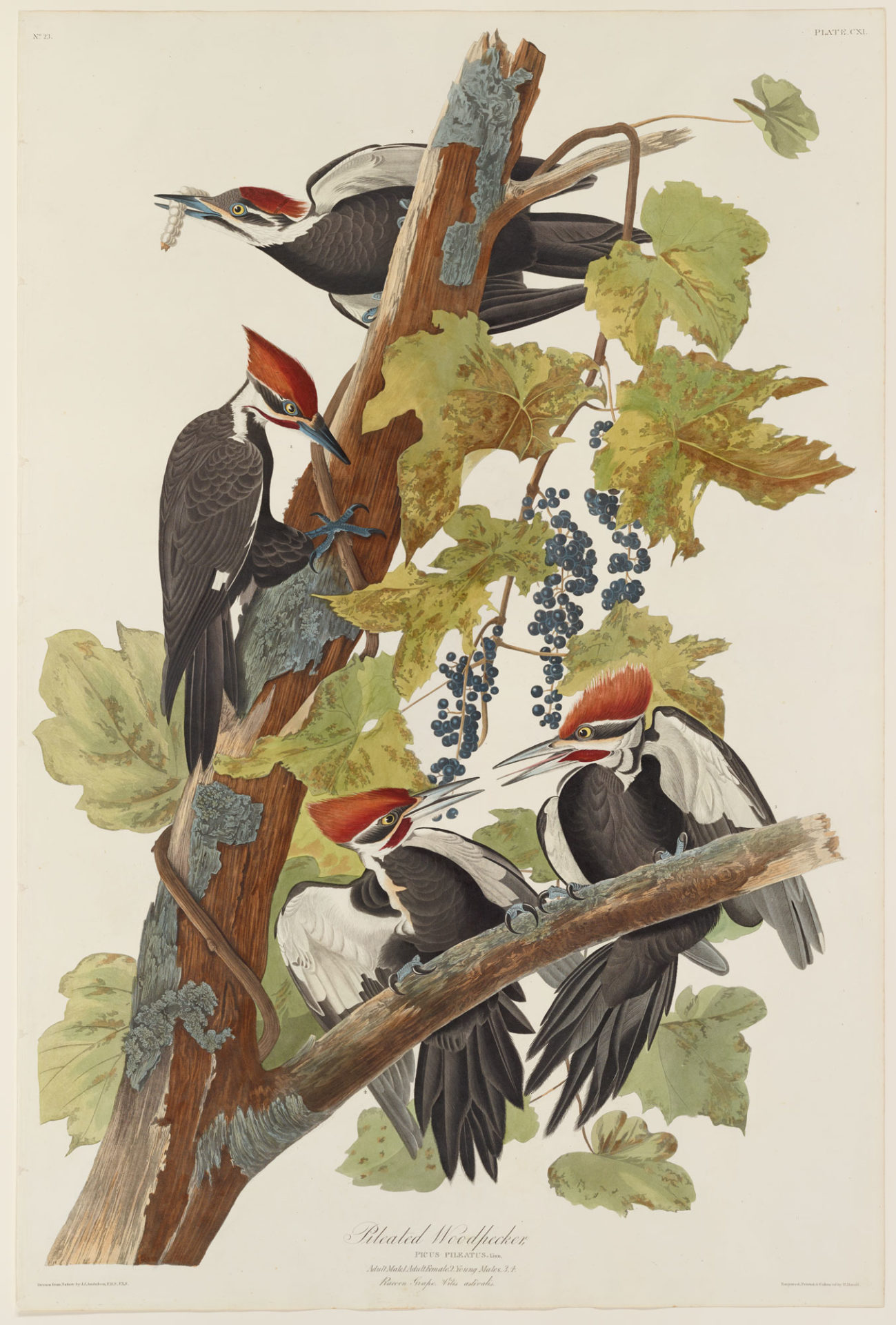 Pileated Woodpecker, Plate 111 Hand-colored engraving from The Birds of America, 1826-1838