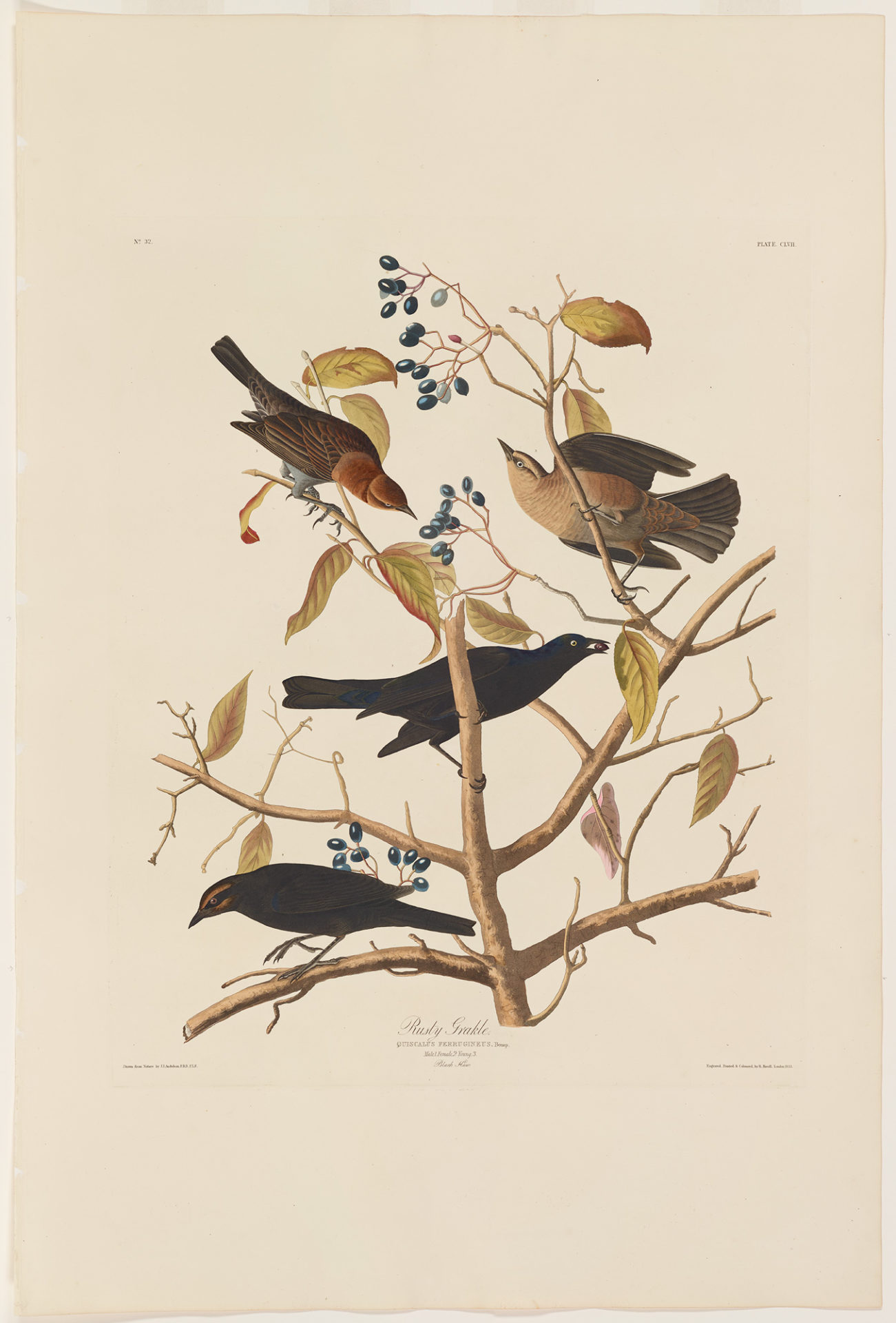 Rusty Blackbird, Plate 157 Hand-colored engraving from The Birds of America, 1826-1838