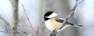 A chickadee on a winter branch