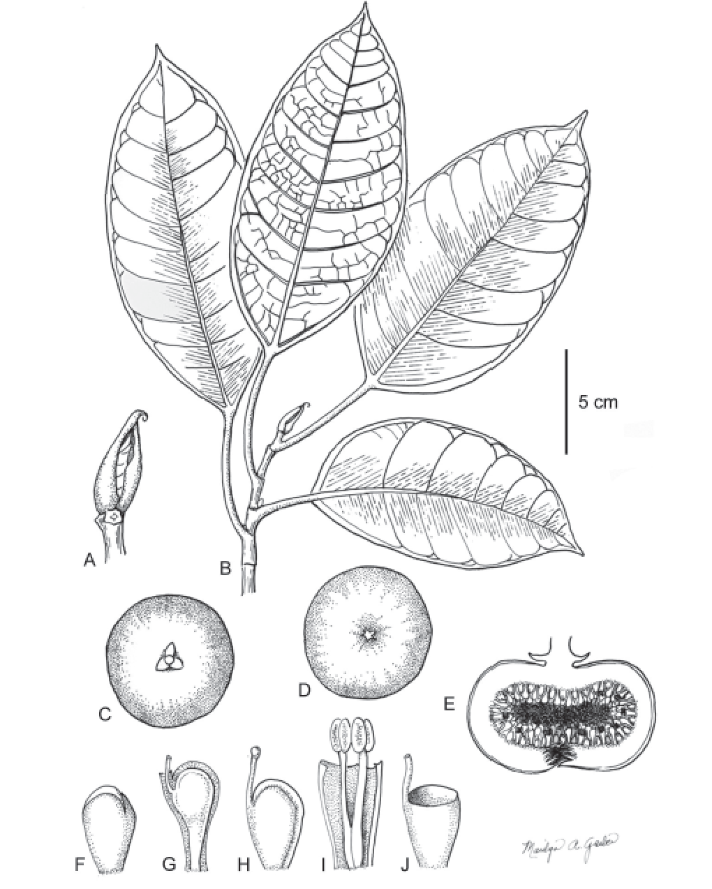 A black line drawing of Ficus umbae