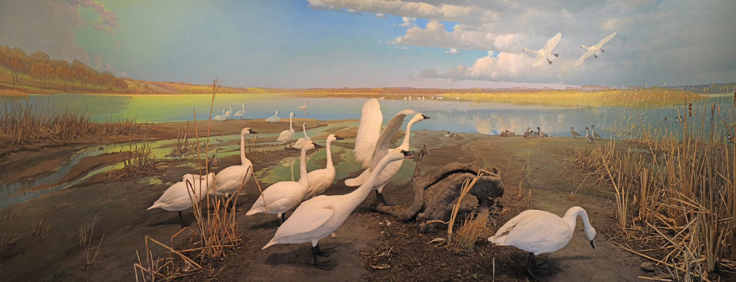 Tundra swans at the Minnesota River Valley diorama
