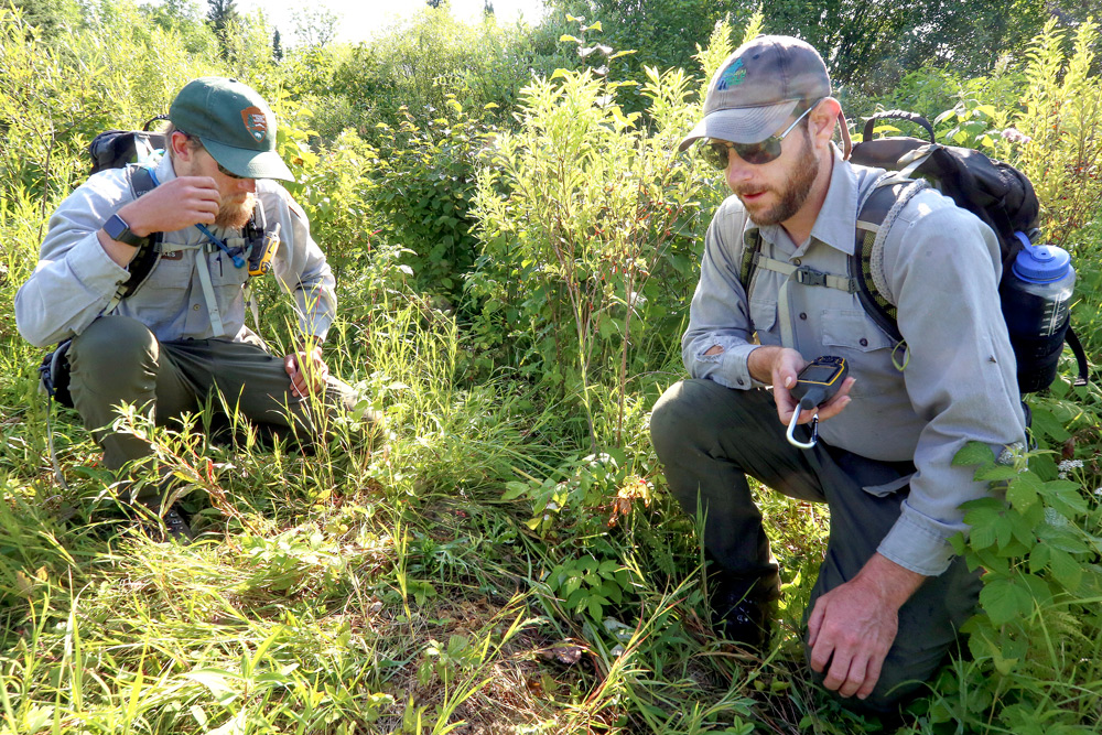 Tom Gable and Austin Homkes investigate the area where a wolf killed a beaver (photo credit: Duluth News Tribune)