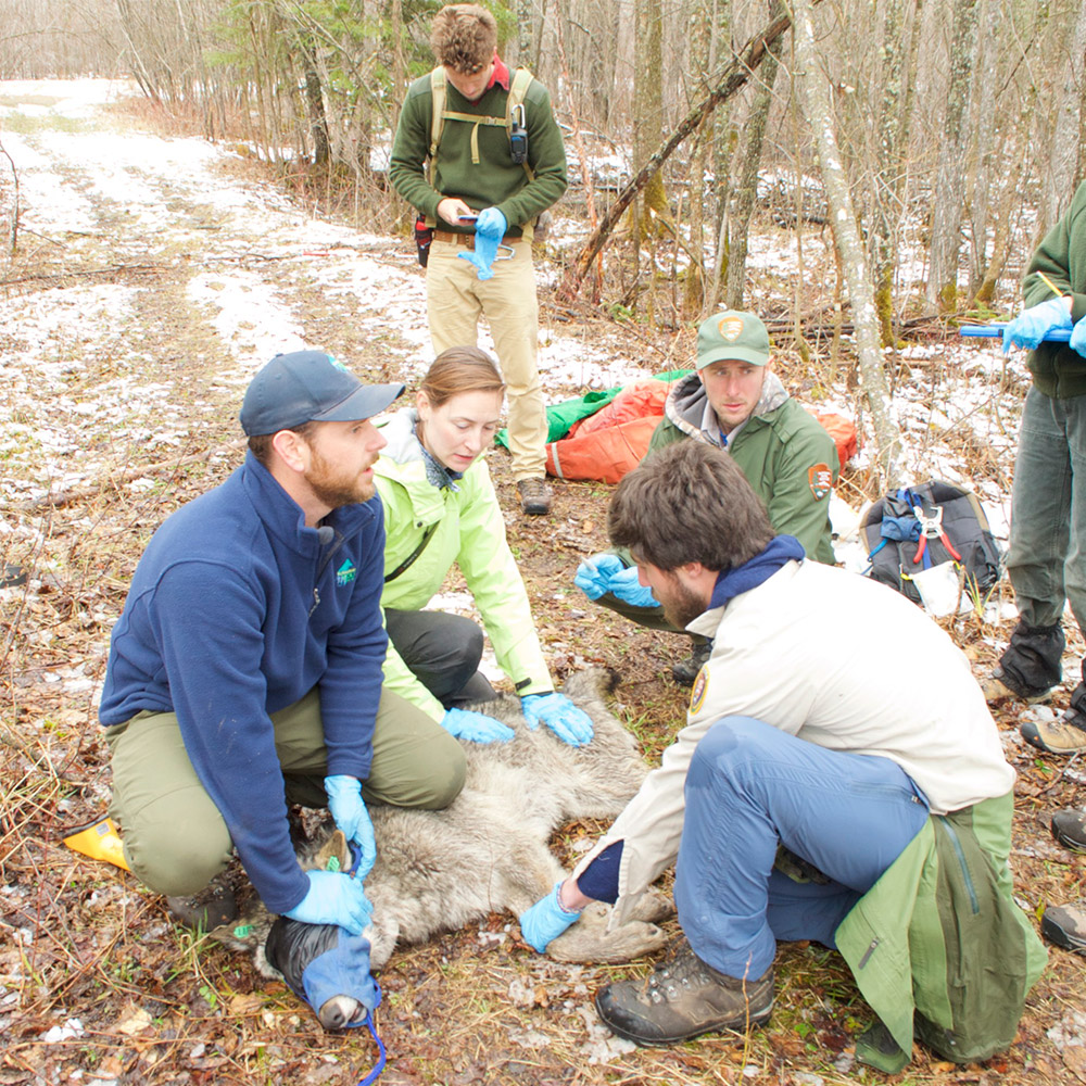 Tom Gable and the Voyageurs Wolf Project field crew collaring a 2 year old wolf in May 2019.