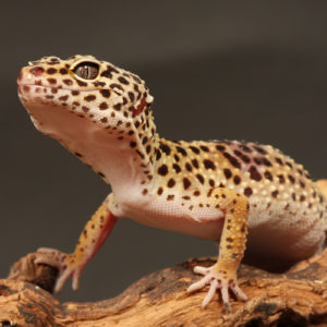 Close up of leopard gecko