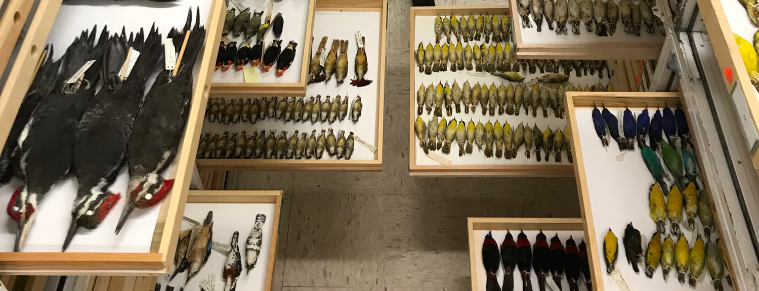 Bird collection at the Bell Museum