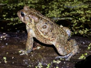 A big American Toad sitting in a pond.