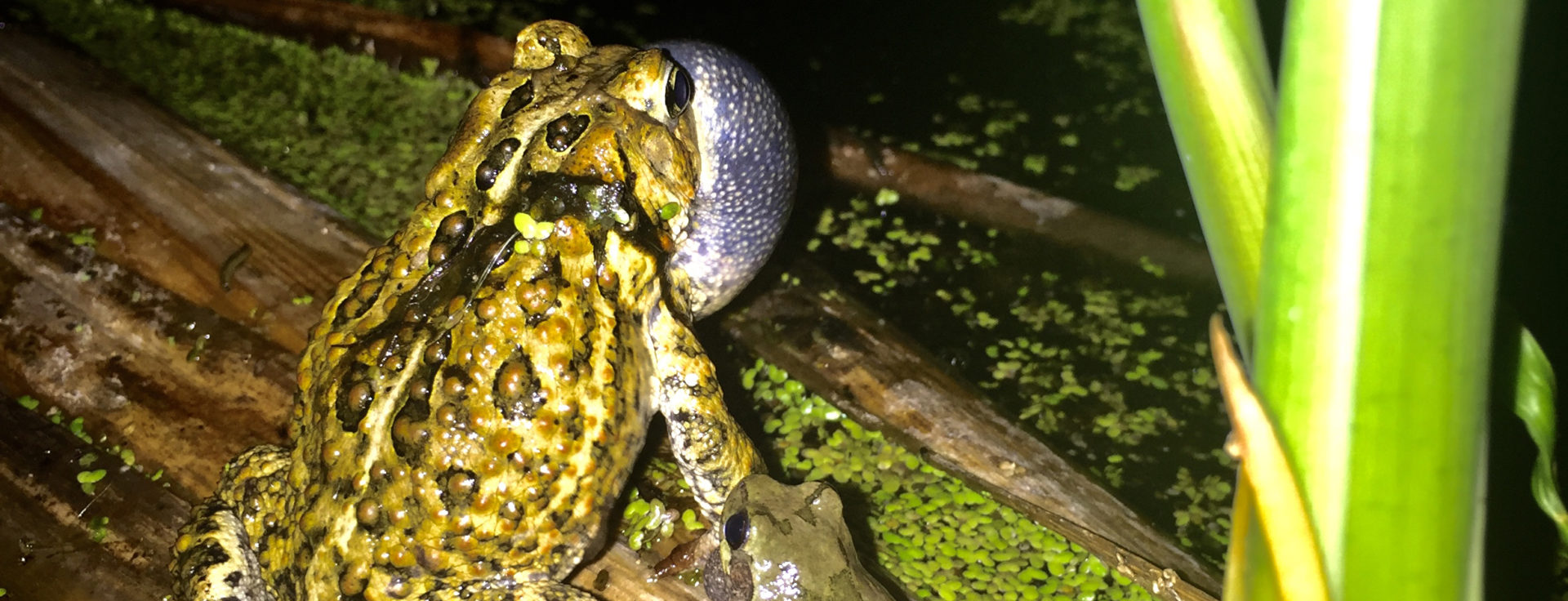 American toad an cope's grey treefrog overlooking a pond together.