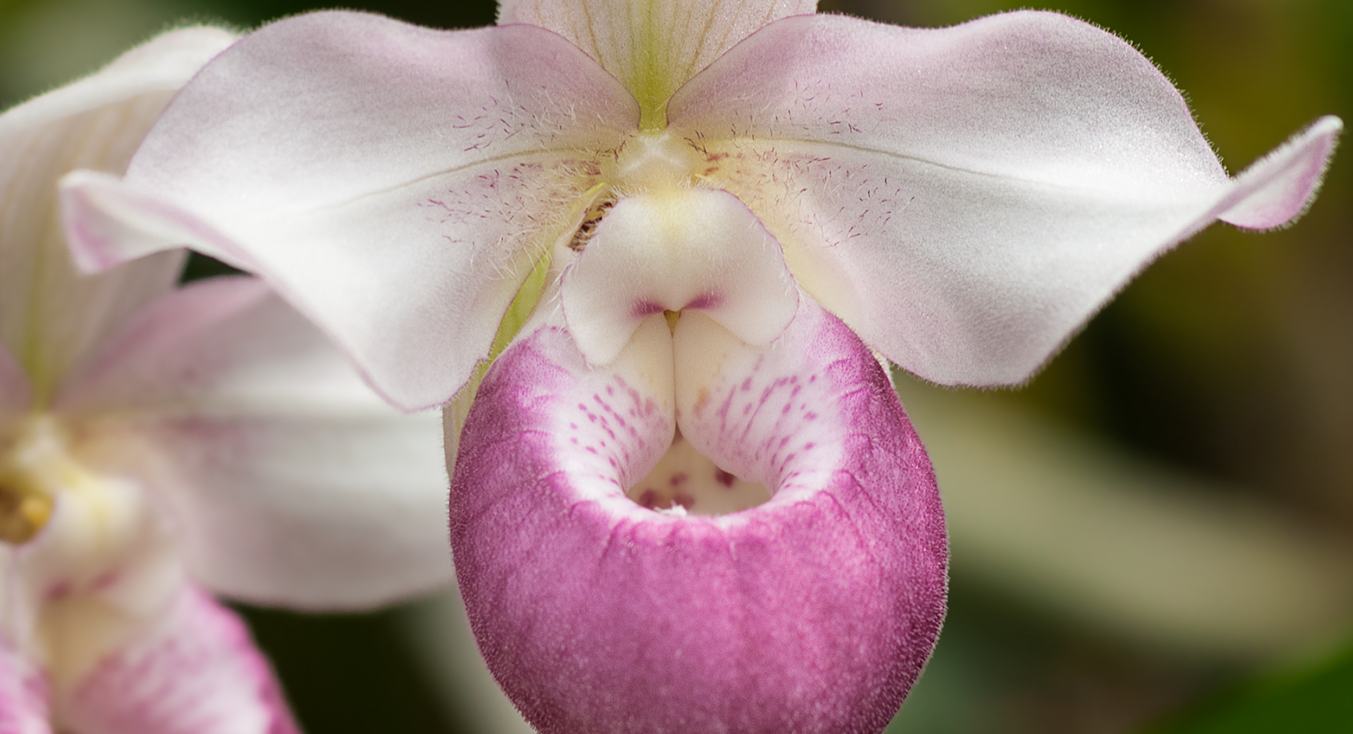 close up of ladyslipper flower