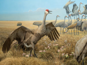 squacking sandhill crane in the diorama