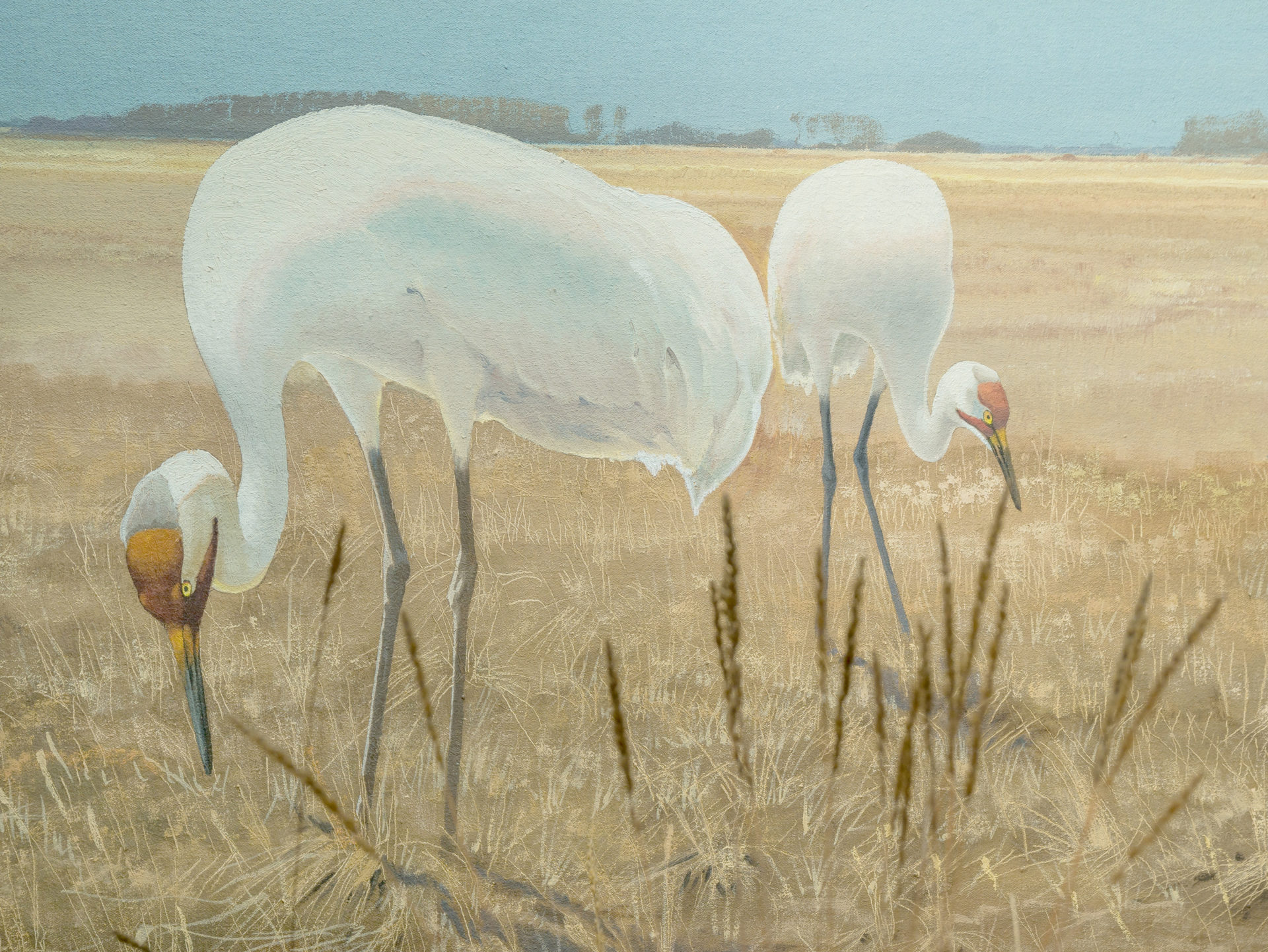 Whooping cranes grazing