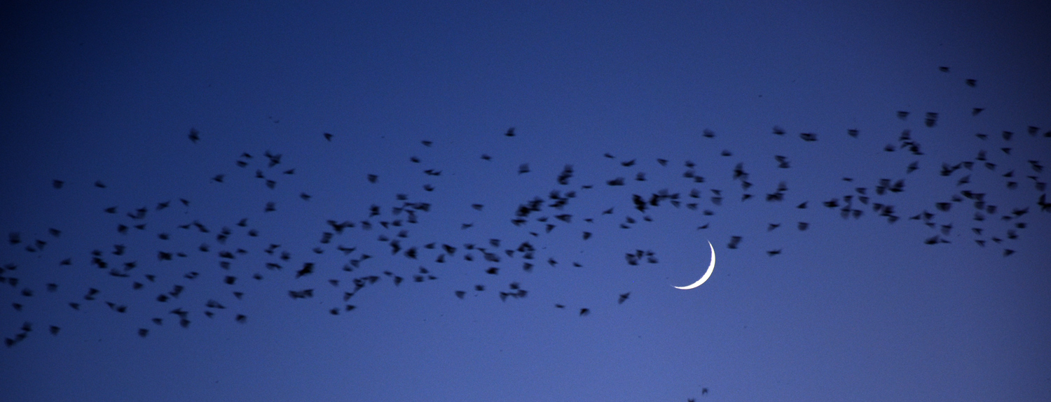 Bats flying in a night sky, crescent moon