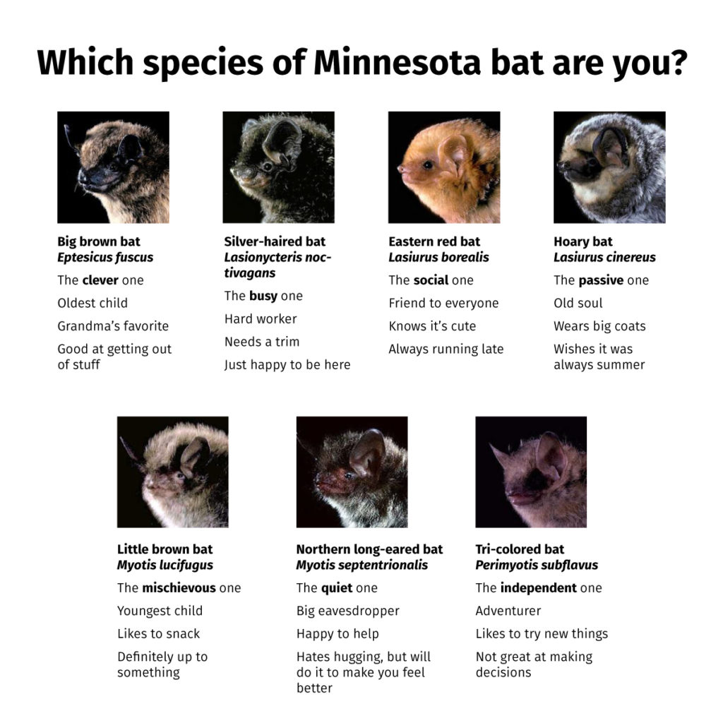 Silly descriptions of bat species: big brown bat (the clever one), silver-haired bat (the busy one), eastern red bat (the social one), hoary bat (the passive one), little brown bat (the mischievous one), northern long-eared bat (the quiet one), tri-colored bat (the independent one)