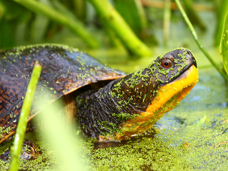 A Blanding's turtle in the water
