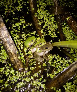 Three green frogs stacked on top of one another in a pond.