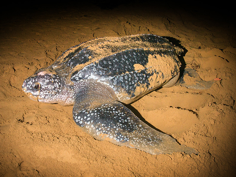 A leatherback turtle in the sand