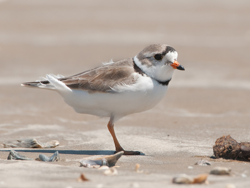 A piping plover on the sand