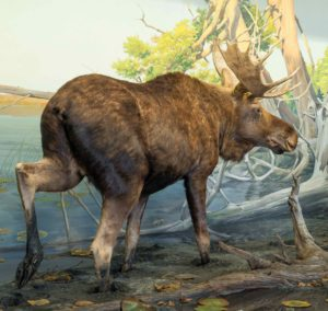 Taxidermied Bull Moose in Bell Museum diorama