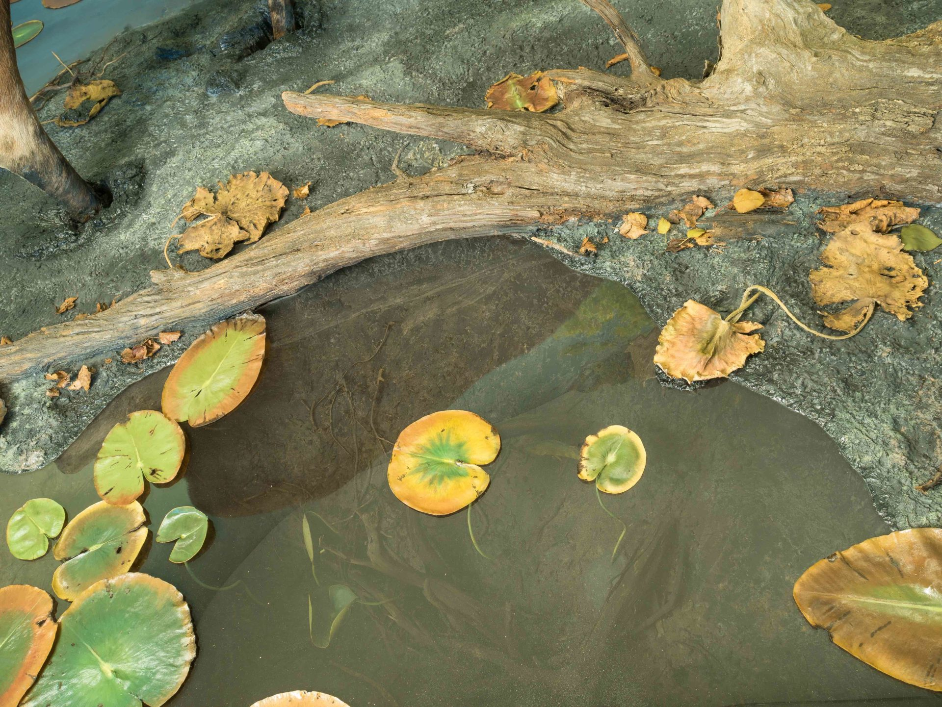 Closeup image of Water and water lilies from Moose diorama