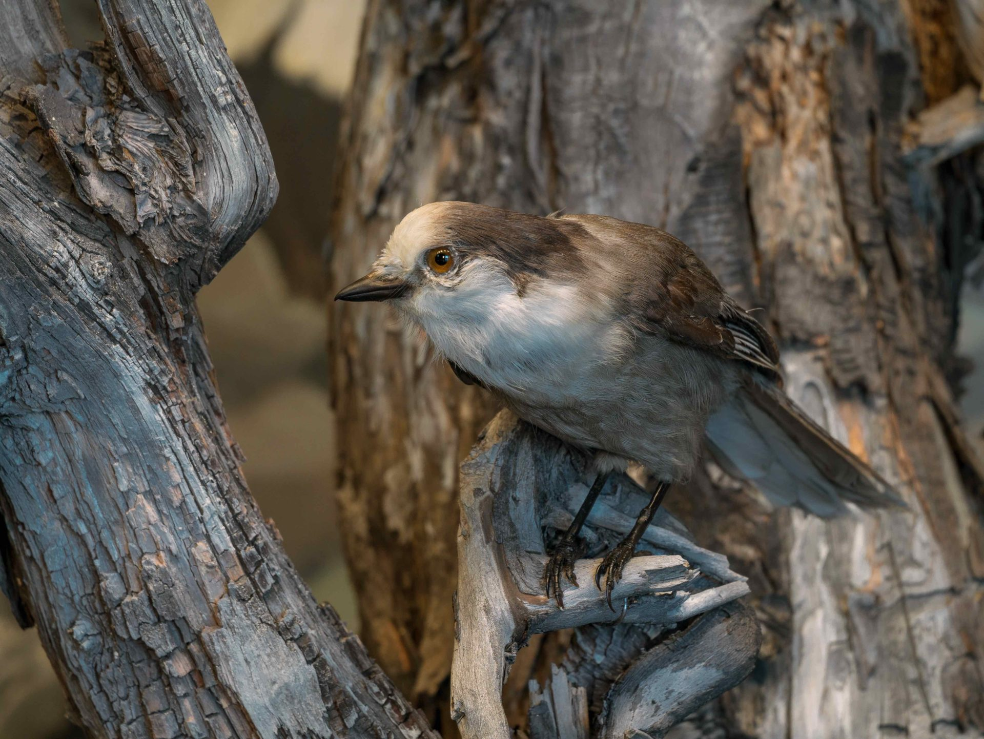 Canada jay, small gray and white bird in Moose diorama