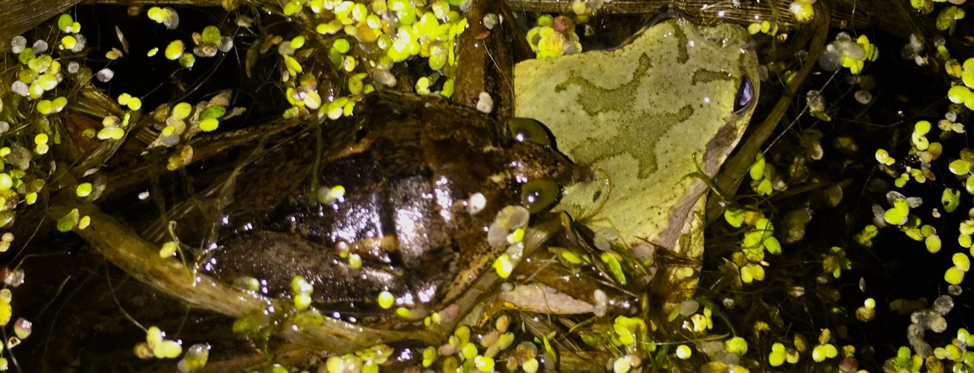 a giant water bug bites a Cope's gray tree frog in a pond. yuck.
