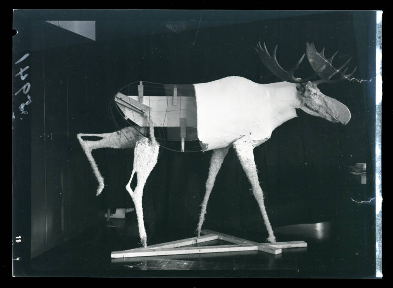 Taxidermy form for the moose in the Bell diorama
