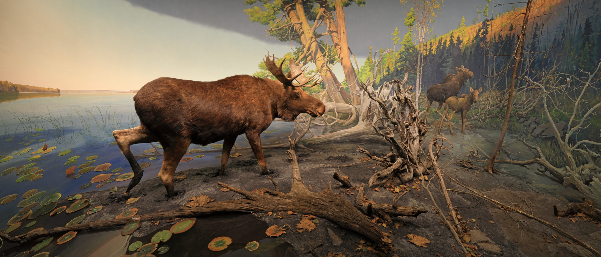 bell museum diorama of moose at Gunflint Lake