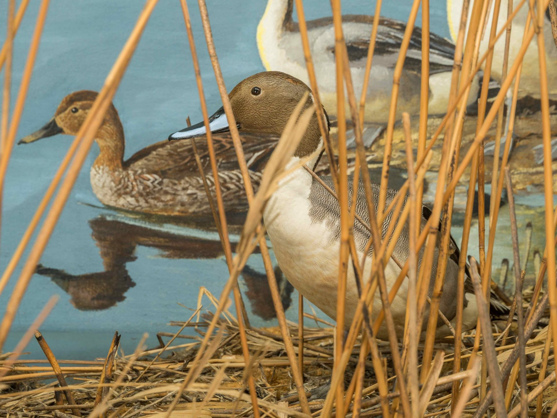 closeup of Northern Pintail in Bell diorama