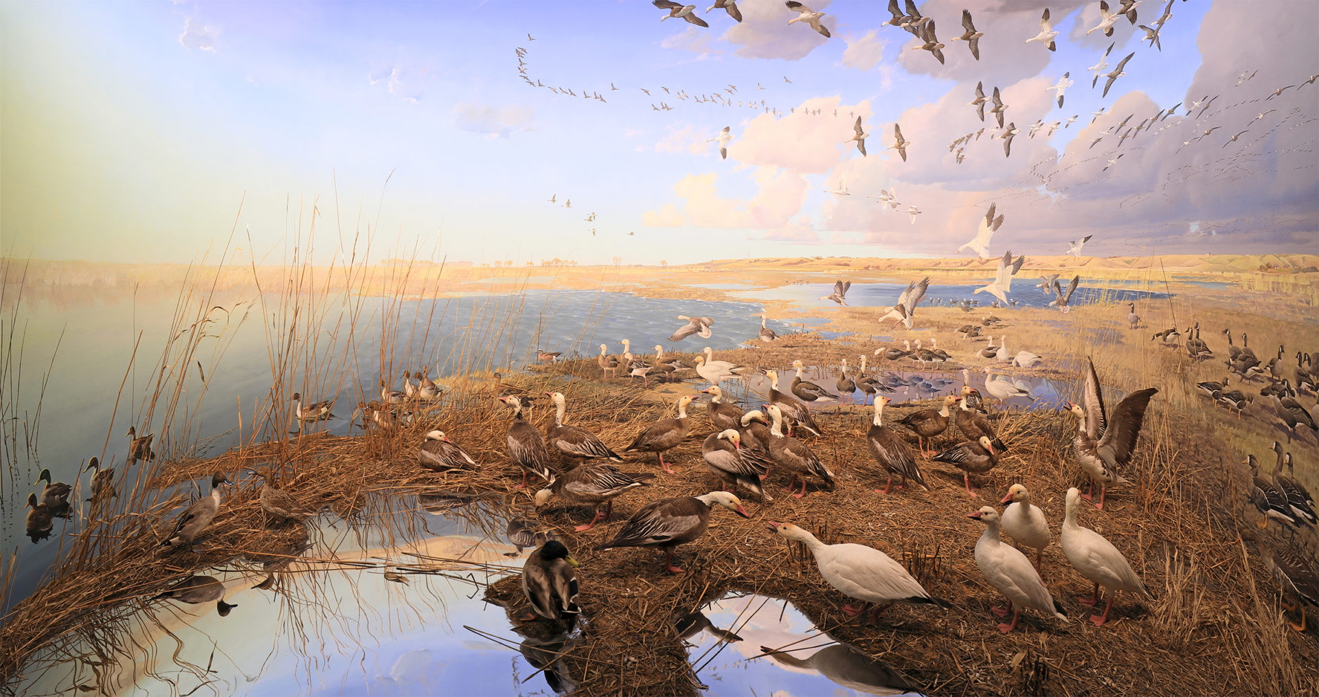 Full-size image of Bell diorama of snow geese showing a large grouping of migratory waterfowl in Lake Traverse