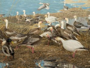 closeup of Bell snow geese diorama showing squabbling waterfowl during migration