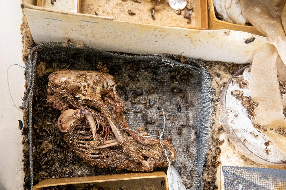 Dermestid colony eating a carcass