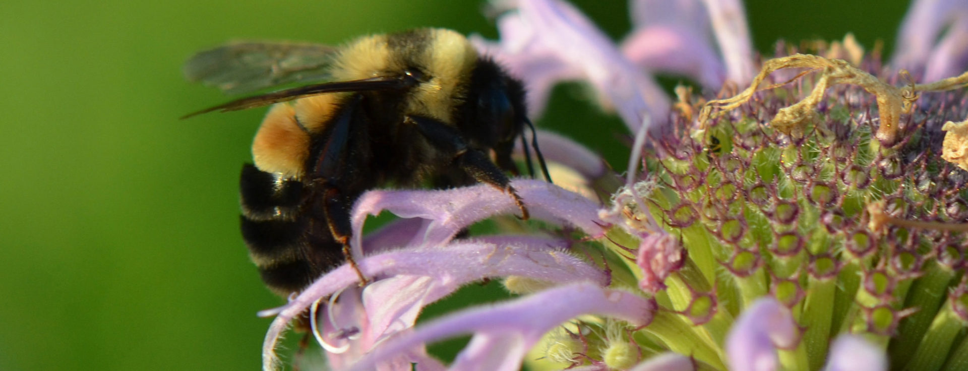 rusty patched bumble bee on a purple flower