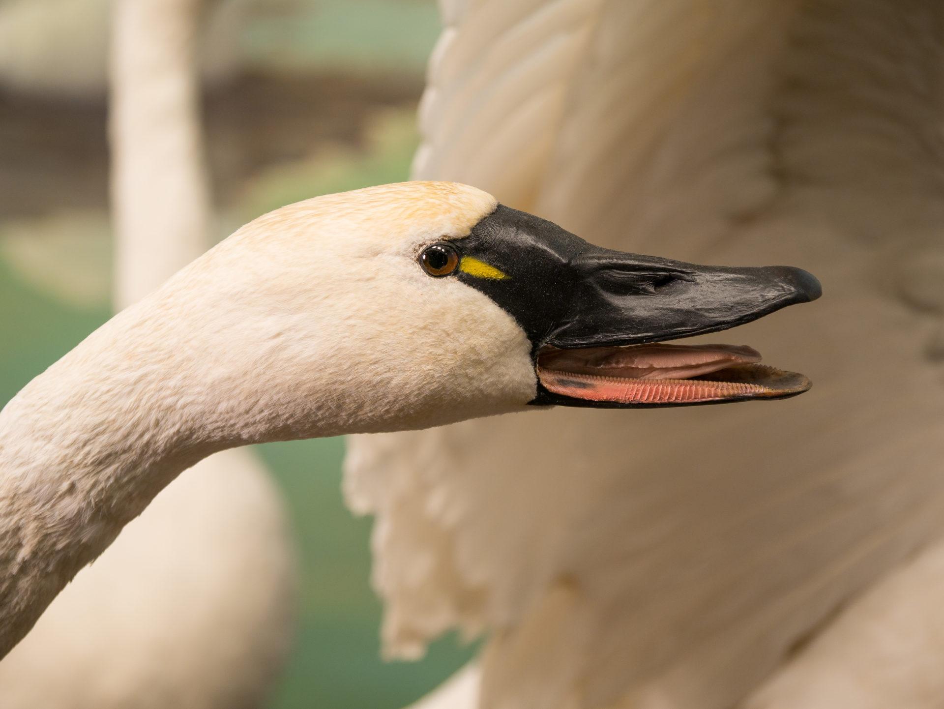 close honking swan