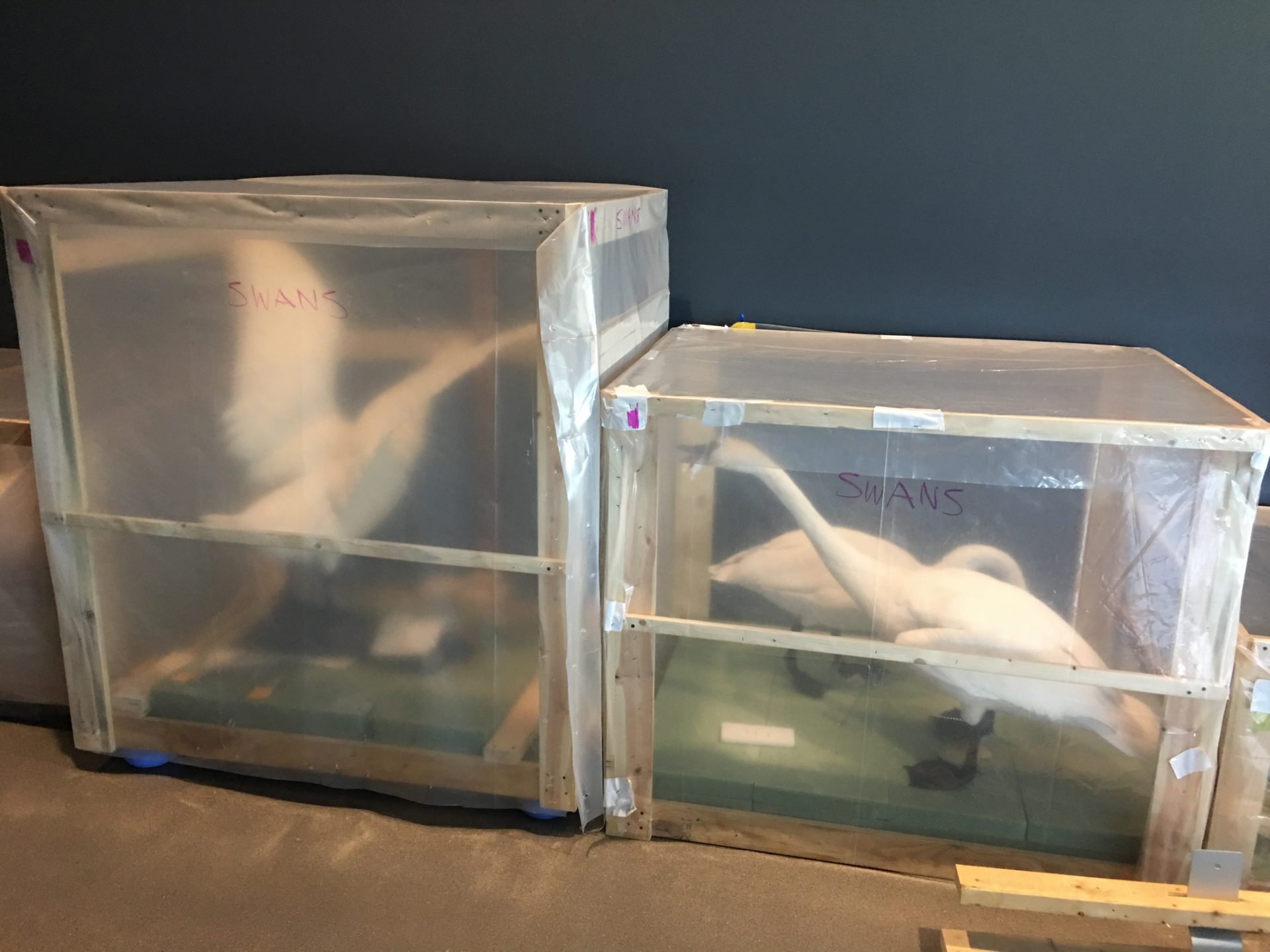 packaged swans for the move