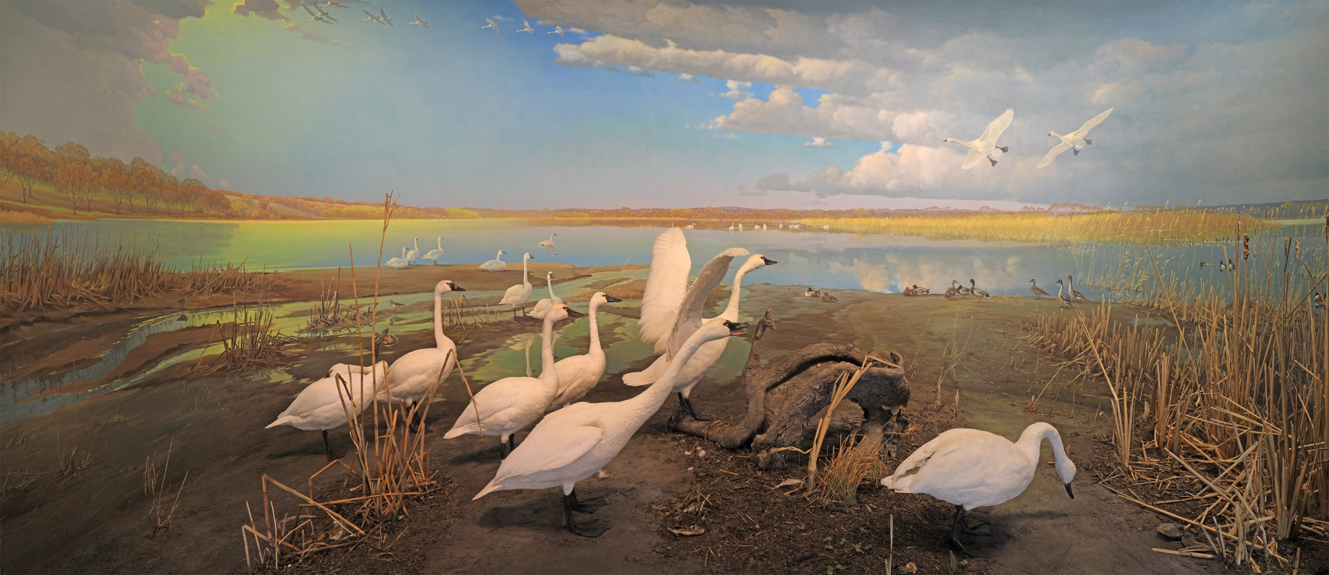 Swans squawking