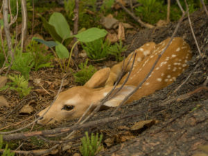 cute fawn laying low near a tree trunk