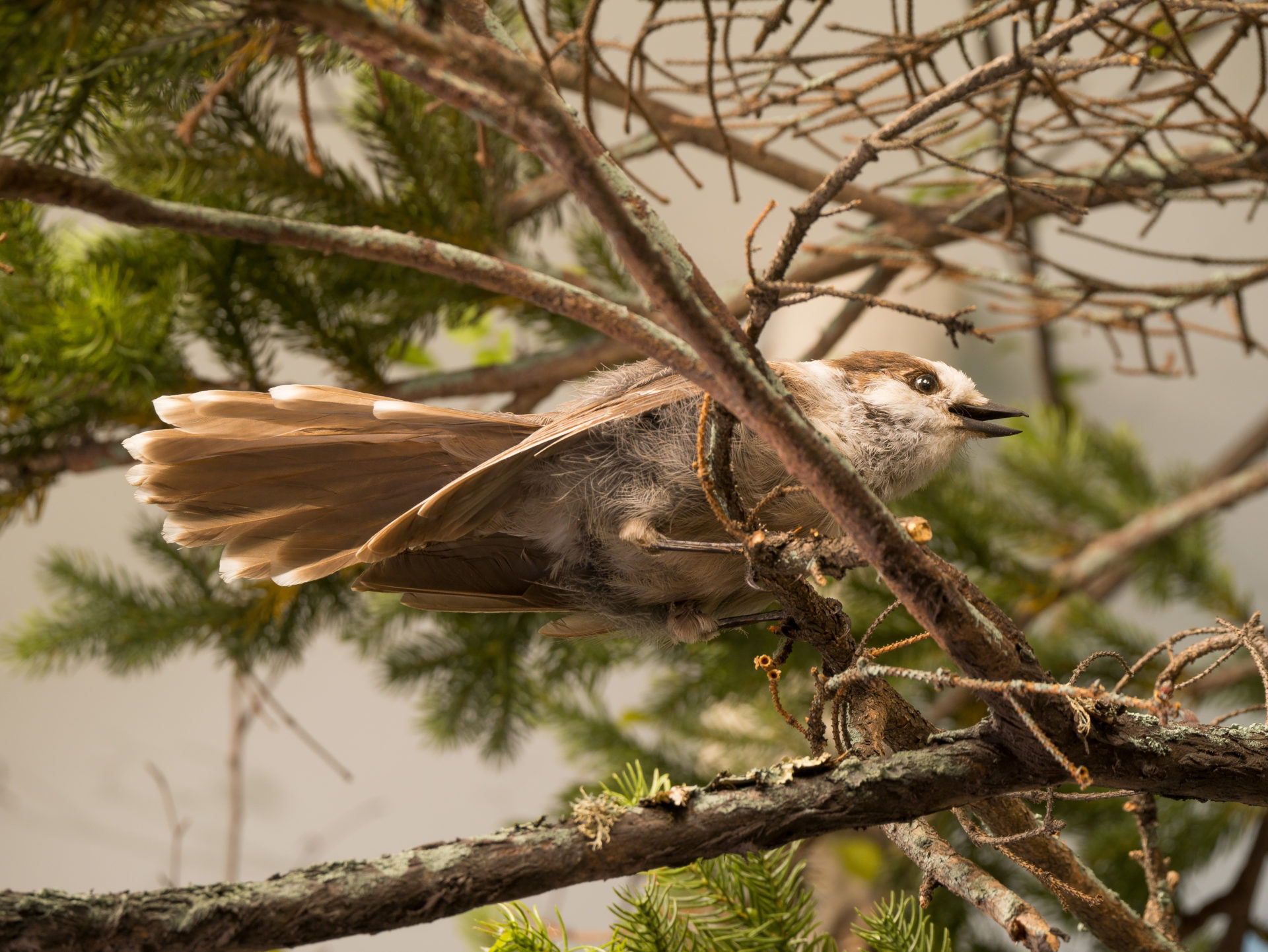 a gray jay perched in a tree