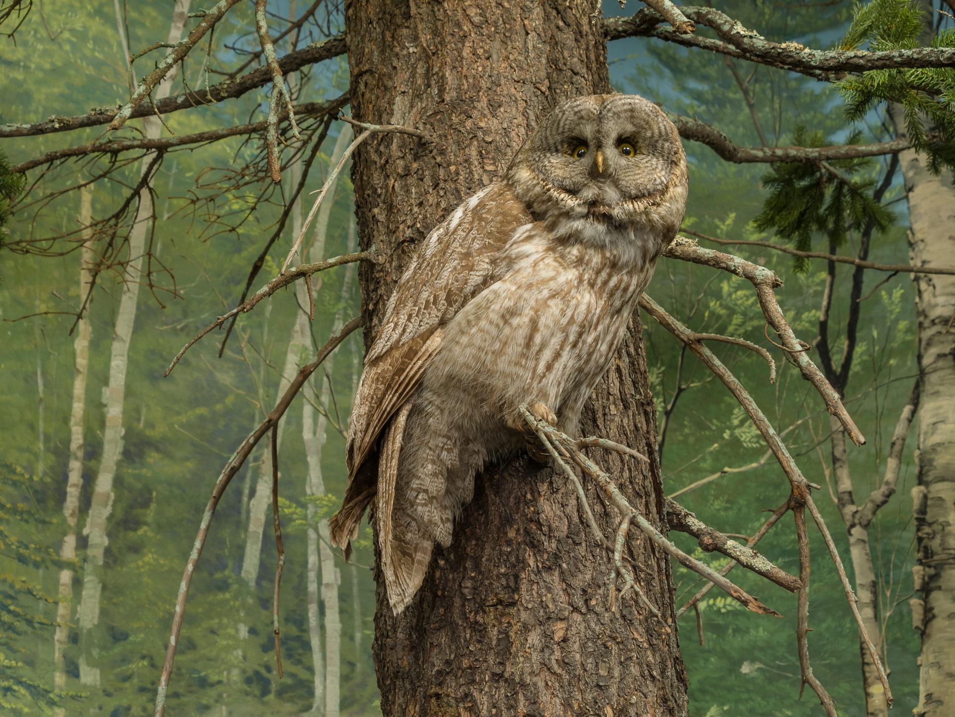 Great gray owl alert in a tree