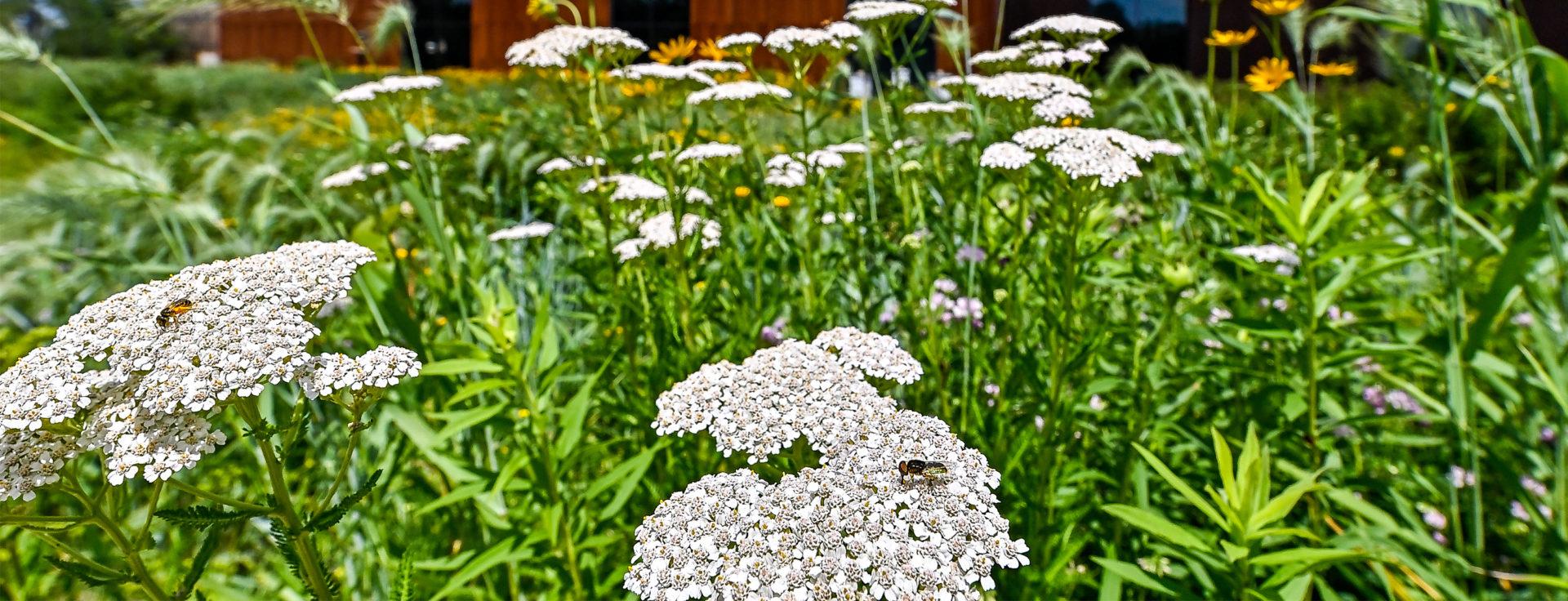 pollinators on white flowers