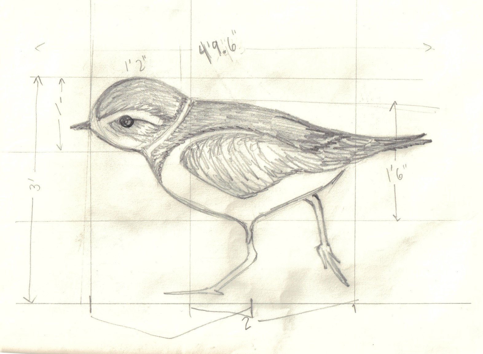 adorable sketch of a plover in black and white