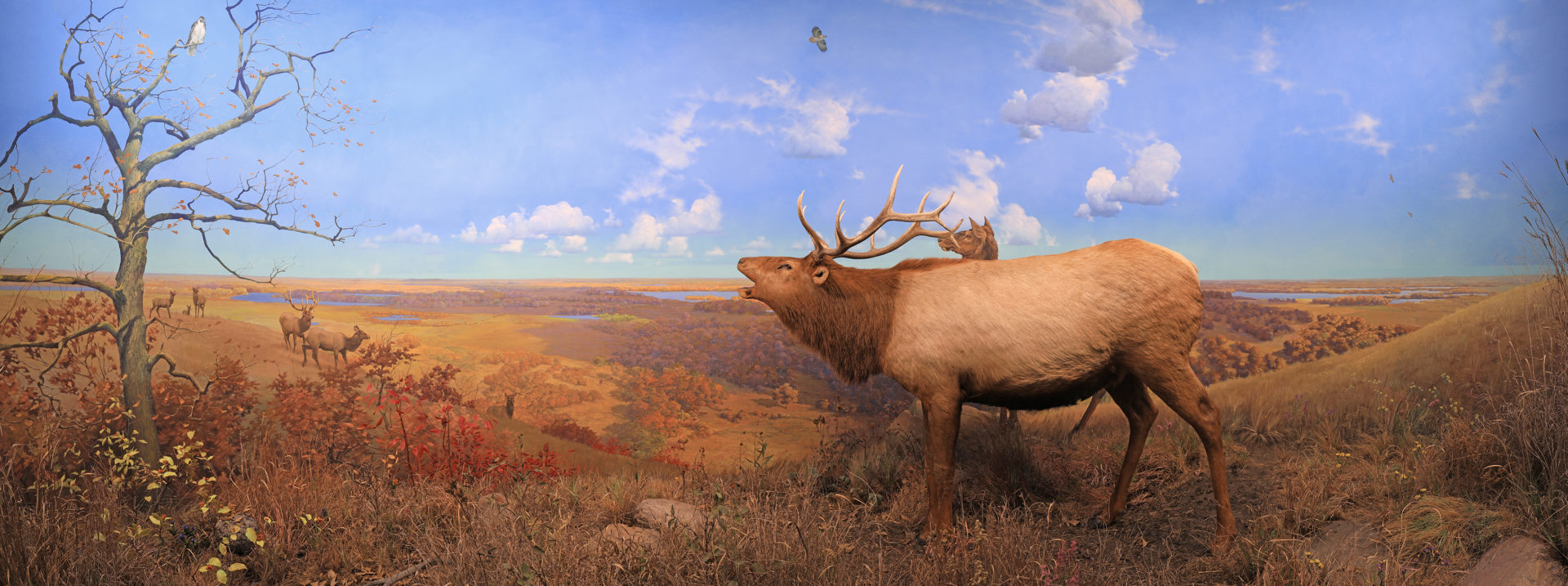 elk at inspiration point diorama, shows a herd of elk in a grassland in autumn