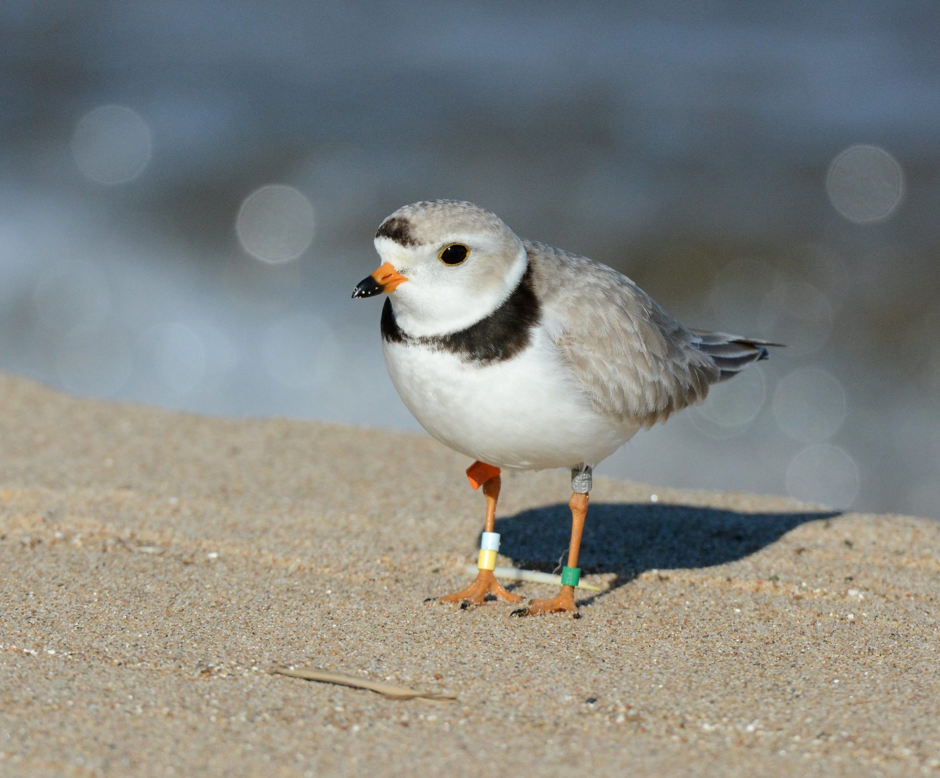 a plover stands on a beach, tagged for research