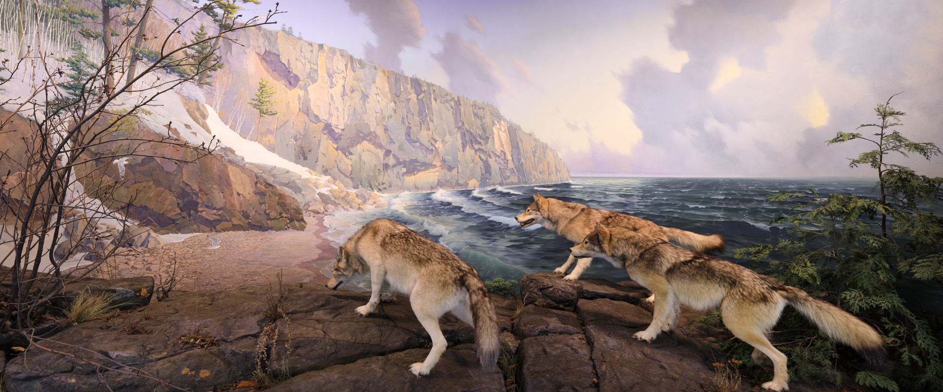 a pack of 3 wolves hunting a deer on the shore of lake superior