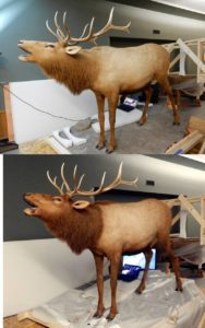 two pictures depicting the before-and-after transformation of a restored bull elk, with brighter colors and more realistic textures in the restored elk