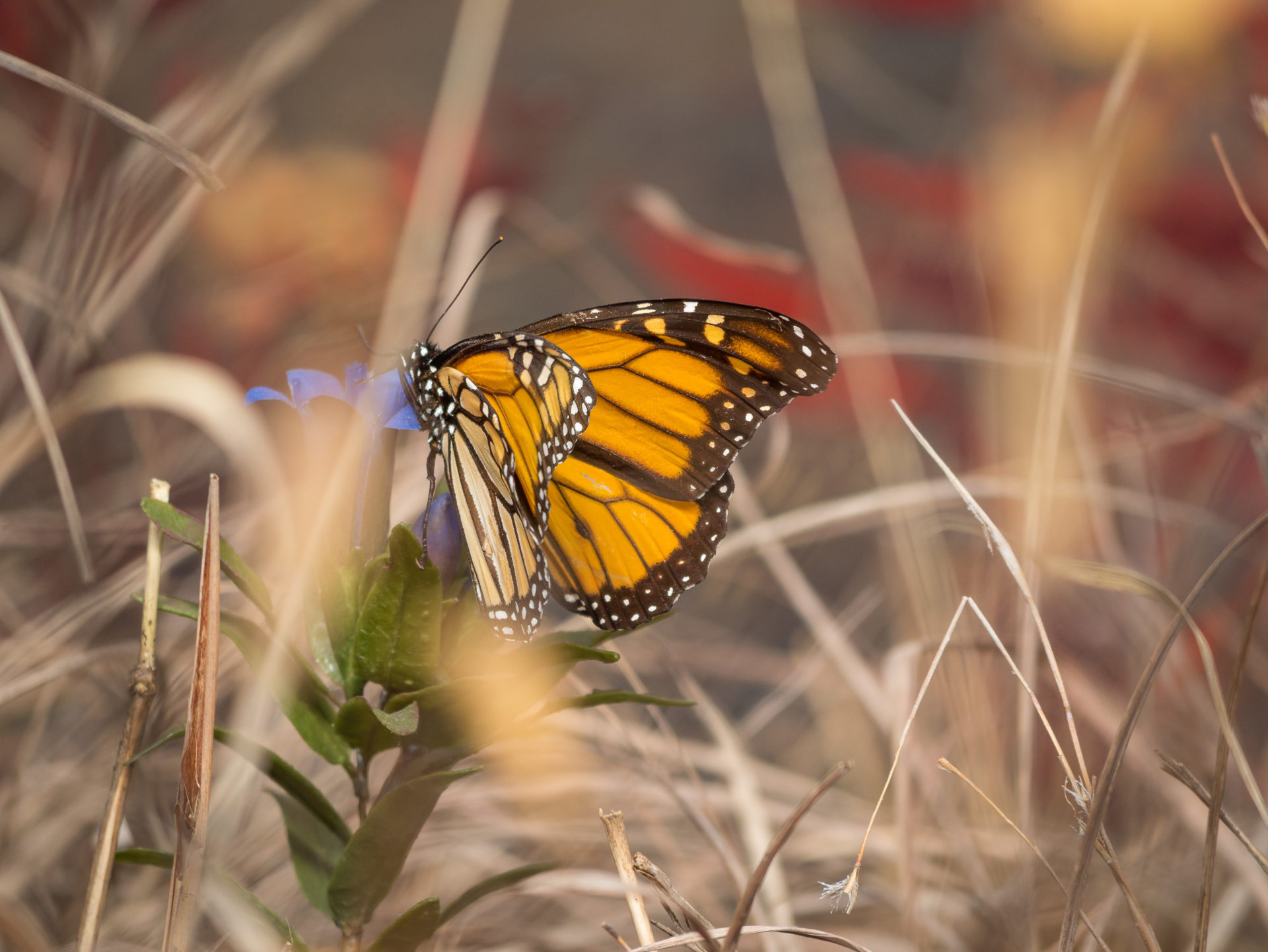 delicate monarch butterfly rests on a plant